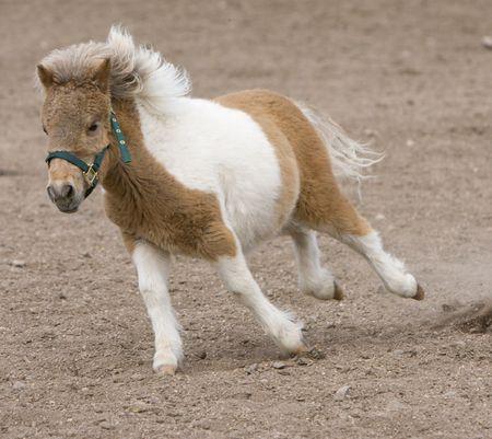 running nose: Running Miniature Horse