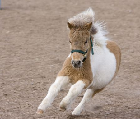 shetland pony: Running Miniature Horse