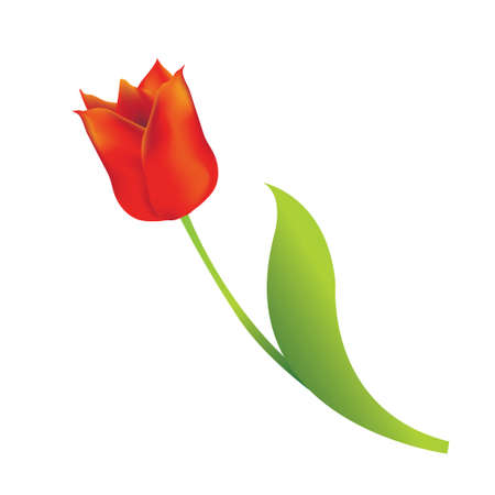 Red tulip on white background Stock Vector - 12426016