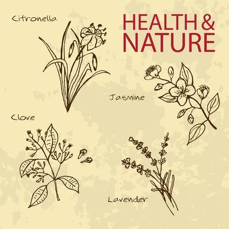 Handdrawn Illustration - Health and Nature Set. Natural Supplements. Lavender, Citronella, Jasmine, Clove Illustration