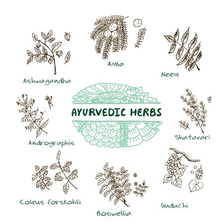 으로 handdrawn 세트 - 건강과 자연입니다. 아유르베 다 허브의 컬렉션입니다. 자연 보조 식품. 이 coleus의 포스 콜리, Andrographis, Guduchi, Amla, Neem의, 유향, Sha