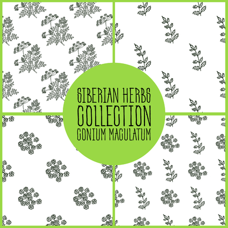 Conium maculatum - Siberian herbs pattern collection. Handdrawn Illustration - Health and Nature Set Illustration