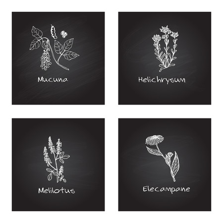 Handdrawn Illustration - Health and Nature Set. Collection of Medicinal Herbs on Chalkboard Background. Natural Supplements. Mucuna, Helichrysum, Melilotus, Elecampane