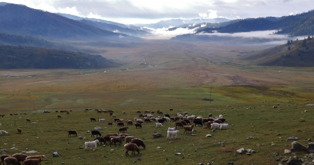 Flock of sheeps on the meadow,  Xinjiang, China photo