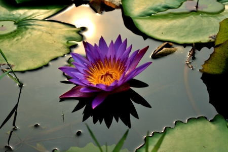 Close up of Waterlily in the pond photo
