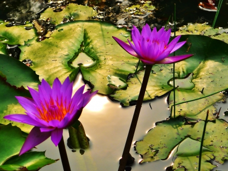 Waterlily in the pond photo