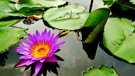 waterlily in the pond with sky reflected in water photo