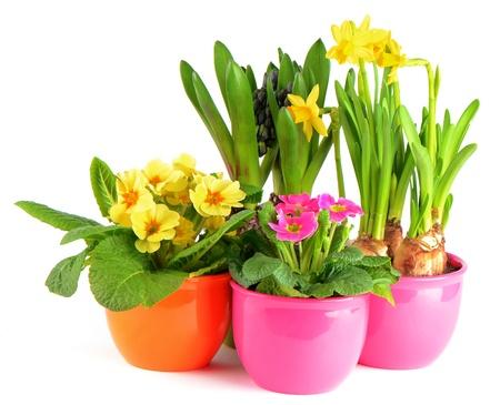 bunte Frühlingsblumen in Töpfen auf weißem Hintergrund. Hyazinthe, rosa Primeln, gelben Narzissen Standard-Bild
