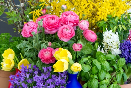 colorful mix of spring flowers. raninculus, campanula, forsythia, tulip photo