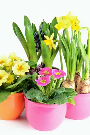 Colorful spring hyacinth, narcissus and primula flowers on white background photo