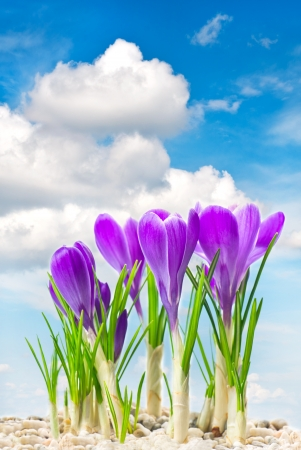 beautifil spring crocus flowers over cloudy blue sky photo