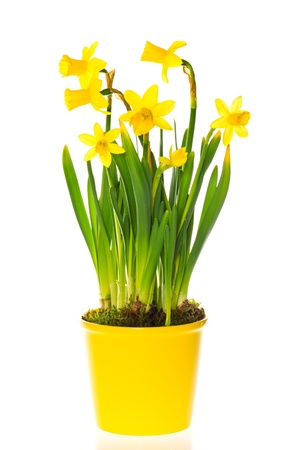 beautiful spring narcissus flowers in pot on white background photo