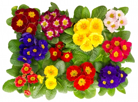 colorful fresh spring flowers primula isolated on white background photo
