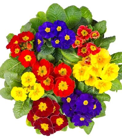 primula: colorful fresh spring primula flowers isolated on white background