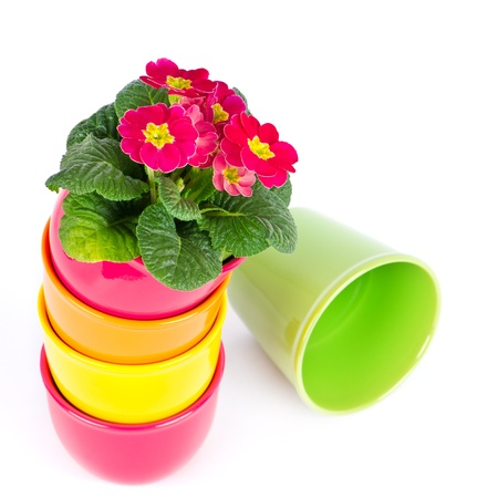 primroses: pink primroses  primula flowers  colorful buckets on white background Stock Photo