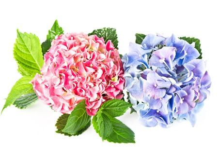 beautiful hortensia isolated on white  pink and blue hydrangea photo