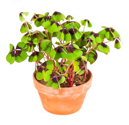 fourleaf: pot with four leaf clover plant  St  Patrick