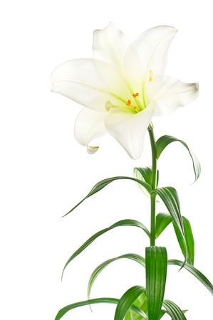 lirio blanco: flor de lirio blanco con follaje verde