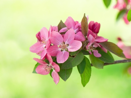apple blossom: beautiful pink blossoming of apple tree flowers on natural green background. selective focus