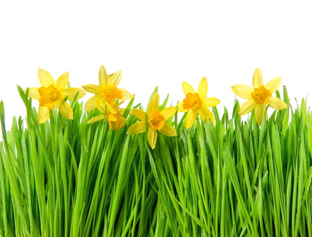 fresh spring narcissus flowers in green grass with water drops on white background photo