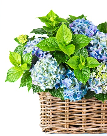 blue hydrangea. beautiful hortensia on white background photo