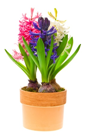 fresh hyacinth flowers and leaves on white background  pink, blue and white hyacinth in pot
