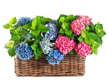 arreglo floral: hydrangea hermoso en el fondo blanco. hortensia azul y rosa en la cesta