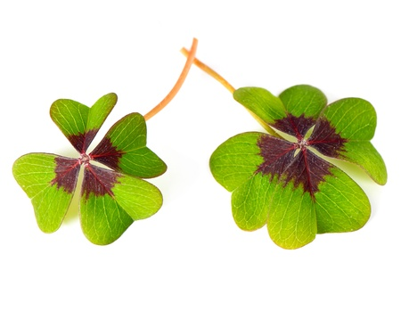 four leaved: fresh green four leaved clover plants on white background