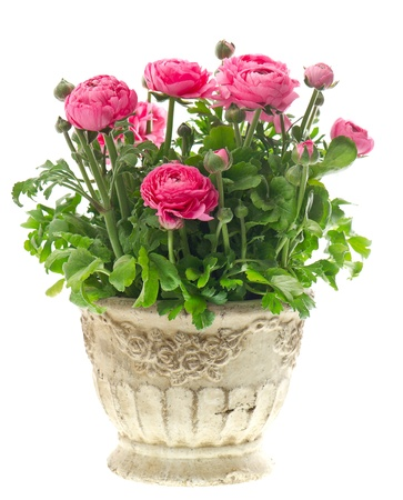 flower arrangements: beautiful pink ranunculus plant in pot on white background Stock Photo