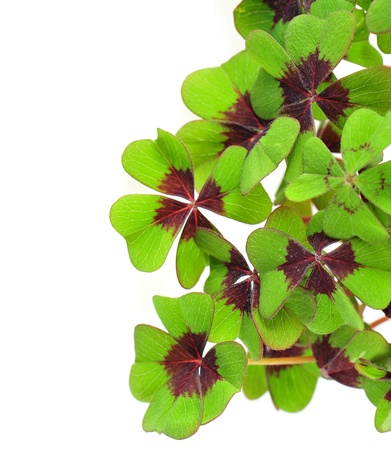 fresh green four leaved clover plant on white background photo
