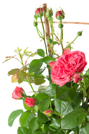 detail of blossoming pink roses plant on white background  studio shot photo