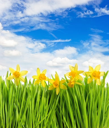 fresh spring narcissus flowers in green grass with water drops on blue sky background