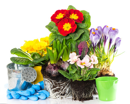 primulas: spring flowers hyacinth, crocus and primula on white background  gardening concept