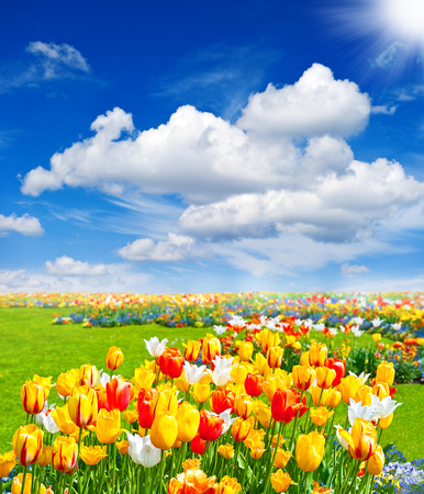 spring landscape: tulip flowers field  spring landscape with blue sunny sky Stock Photo