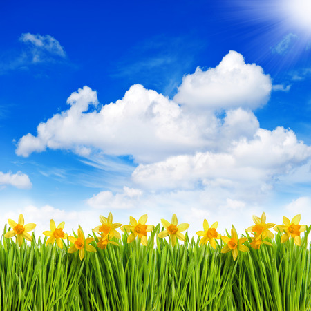 fresh spring narcissus flowers in green grass with water drops over sunny blue sky