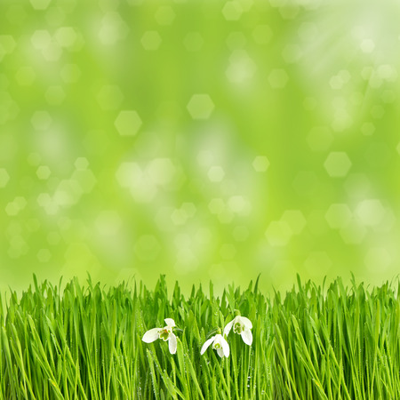 fresh green spring grass with water drops over blurred  photo