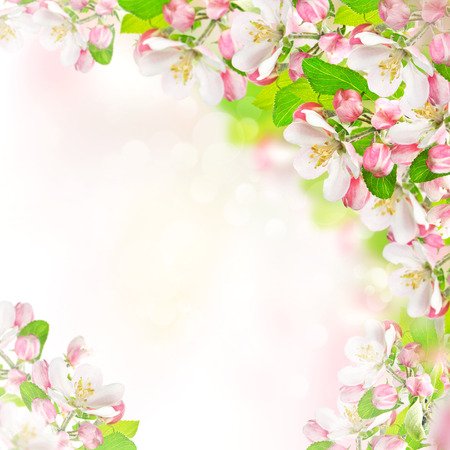 springtime  apple blossoms over blurred nature background  spring flowers
