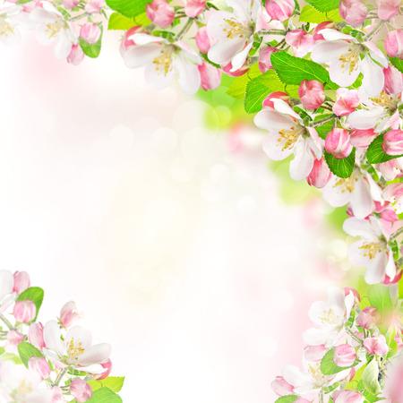 springtime: springtime  apple blossoms over blurred nature background  spring flowers
