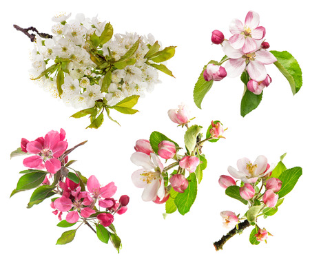 apple blossom: spring flowers isolated on white background  blossoms of apple tree, cherry twig