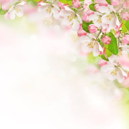 apple blossoms over blurred nature background  spring flowers