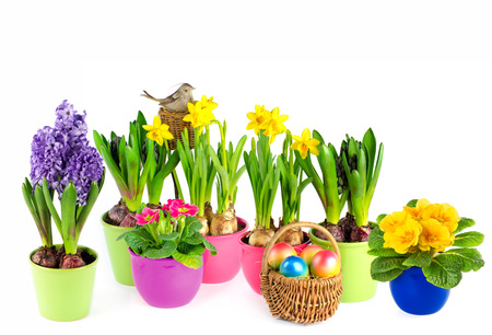 colorful spring flowers in pots  easter decoration  hyacinth, pink primulas, yellow daffodils on white background photo