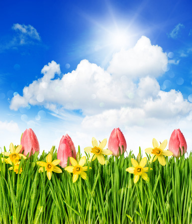 flower field with tulips and narcissus in green grass  spring landscape with blue sunny sky photo