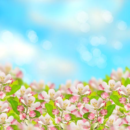 spring bud: apple blossoms over blurred blue sky background  spring flowers