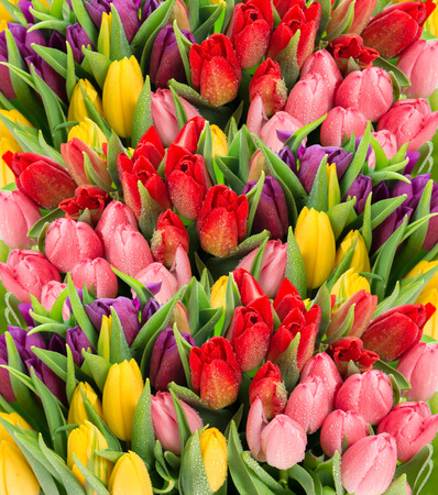 bouquet of multicolor tulips  fresh spring flowers with water drops  floral backdrop photo
