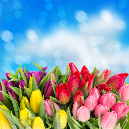 bouquet of multicolor tulips  fresh spring flowers with water drops over blue blurred background  floral backdrop photo