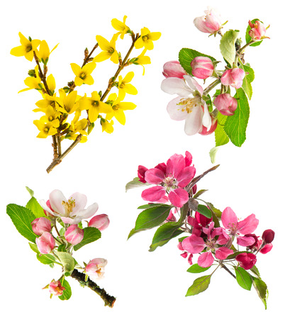 set of spring flowers isolated on white blossoms of apple tree, cherry twig, forsythia Stock Photo
