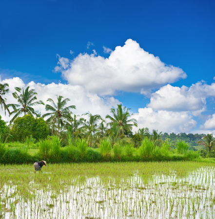 tropical landscape with green rice filed, palm trees and cloudy blue sky photo