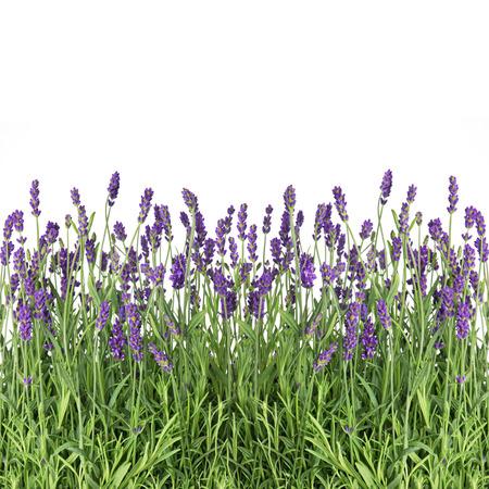 lavender flowers isolated on white background Banco de Imagens