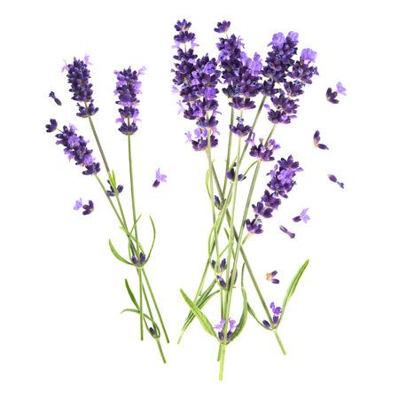 lavender flowers isolated on white background. fresh blossoms Banco de Imagens