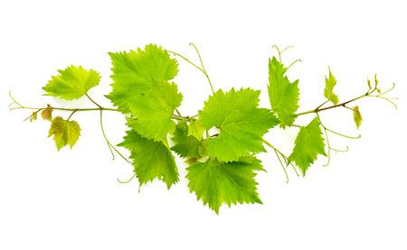 hojas parra: banch de hojas de vid aislados sobre fondo blanco